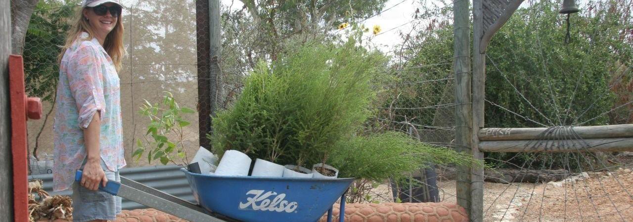 Wheelbarrow of advanced Melaleuca lanceolata just purchased