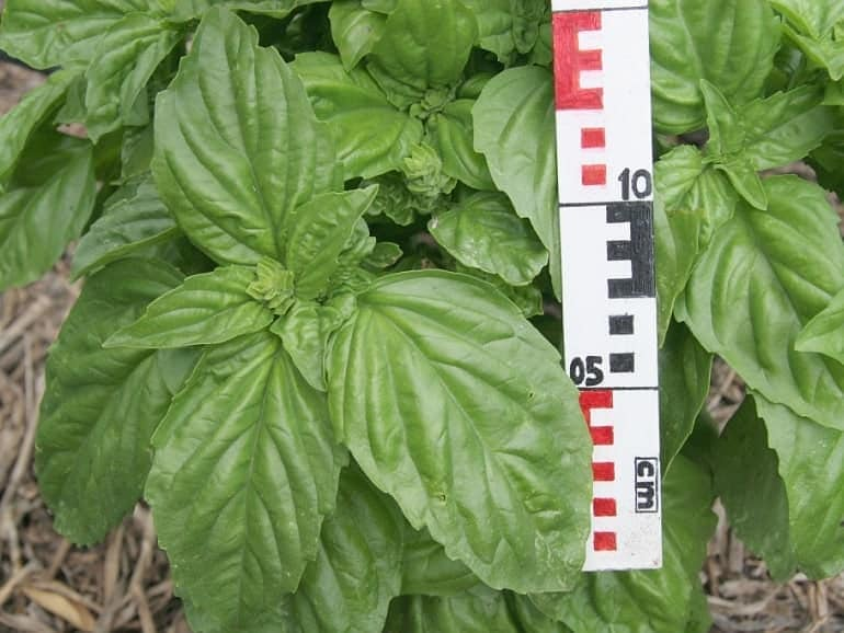 BASIL – Sweet Giant-leaved
