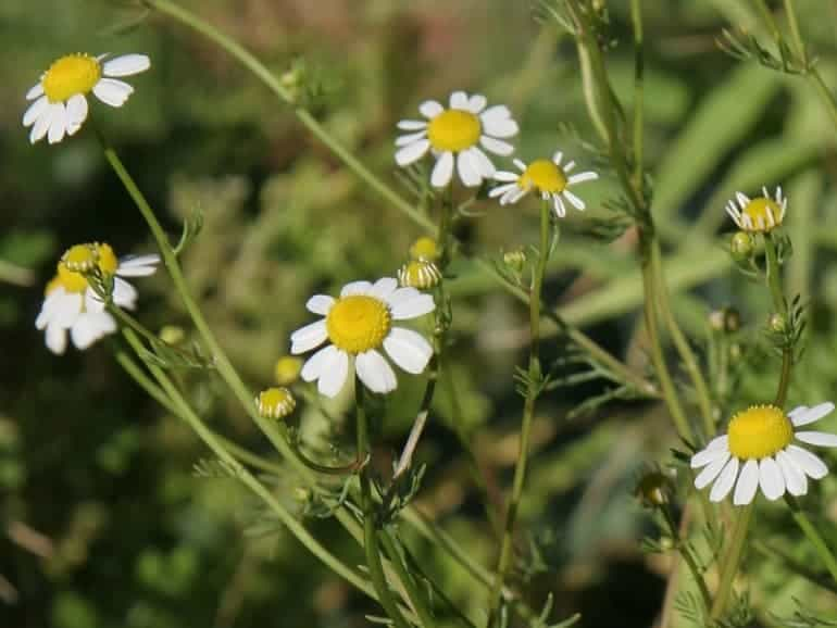 CHAMOMILE – German