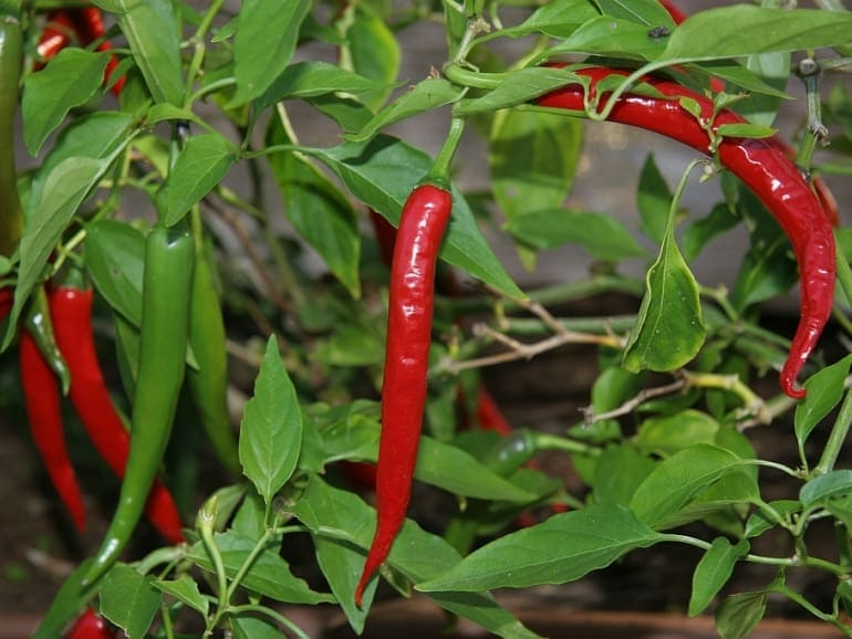CHILLI – Red Thai Long
