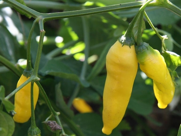 CHILLI – Yellow Peruvian