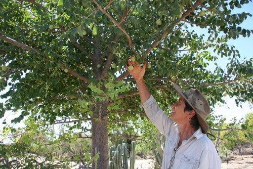 MARULA – African Marula Tree