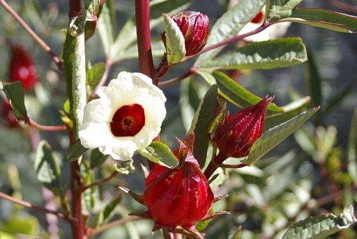ROSELLA – Hibiscus Flower