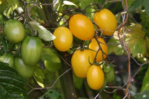 TOMATO – Yellow Plum
