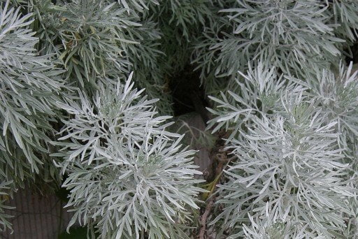 WORMWOOD – Silver Leaved