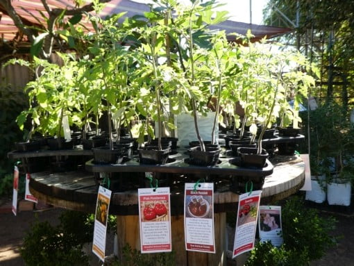 Heirloom Tomatoes Seedings