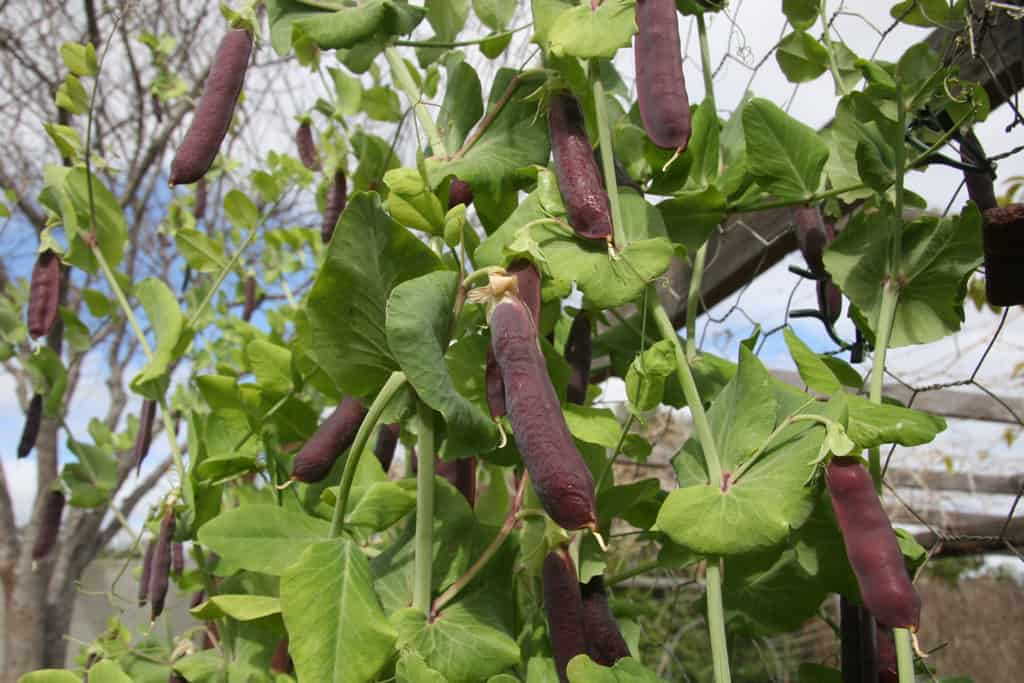 PEA – Purple Podded