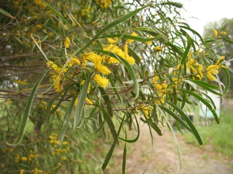 Acacia acuminata – Raspberry Jam Tree
