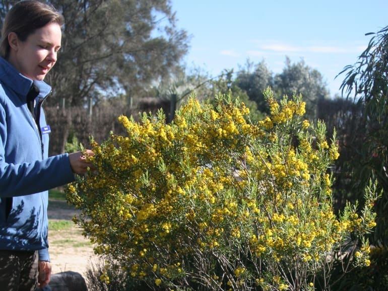 Acacia leptospermoides – Robyn's Dwarf Sand Wattle