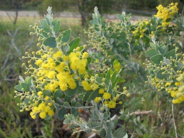 Acacia podalyriifolia – Queensland Silver Wattle