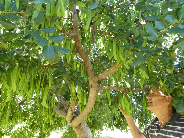 Ceratonia siliqua – Carob