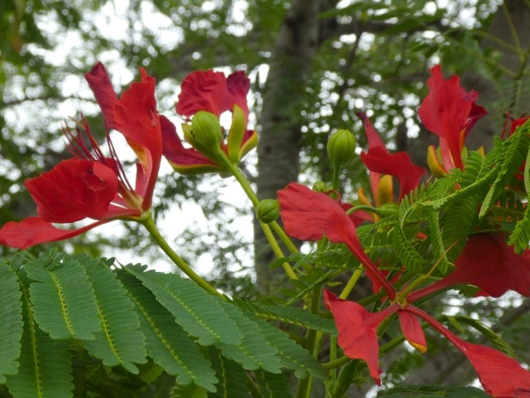 Delonix regalia – Poinciana