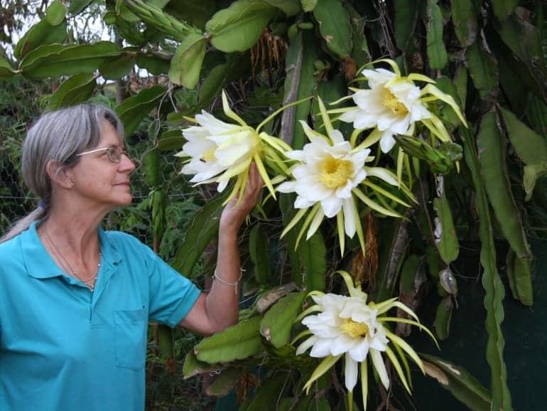 Hylocereus oncampensis – Flamefruit Cactus (*cutting)