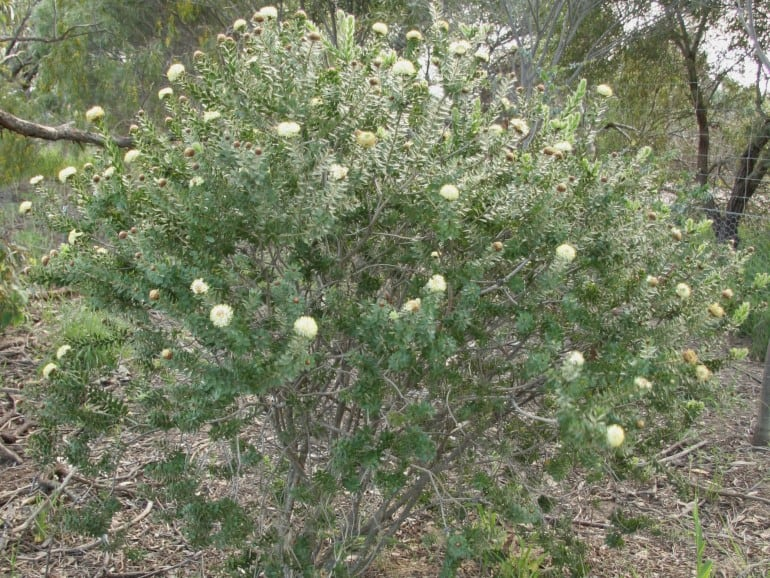 Melaleuca megacephala – Greenough Gold Bottlebrush