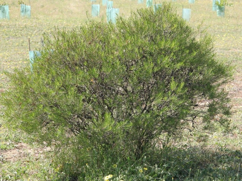 Melaleuca radula – Graceful Honey Myrtle