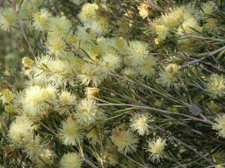 Melaleuca uncinata – Broombrush
