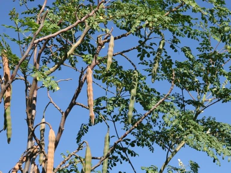 Moringa oleifera – Drumstick Tree