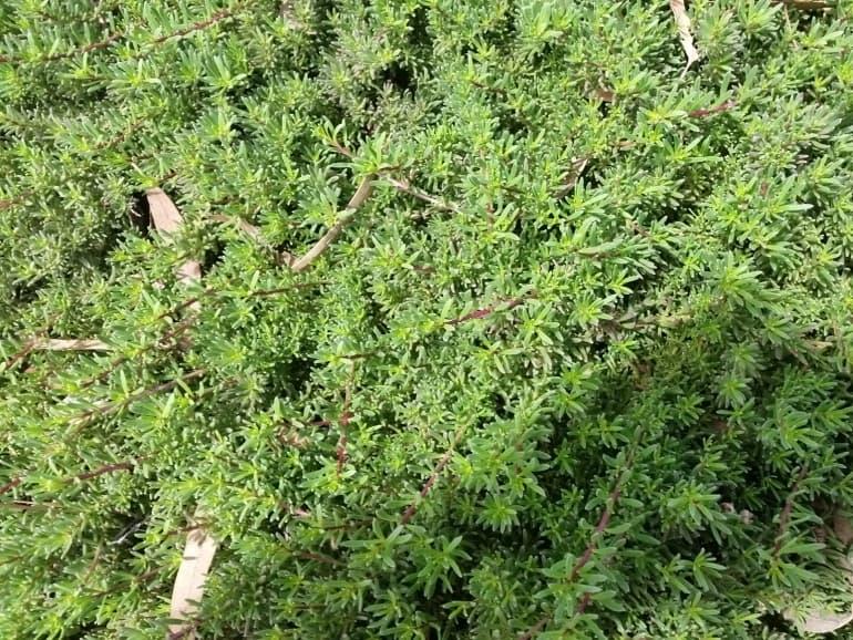 Myoporum parvifolium – Creeping Myoporum