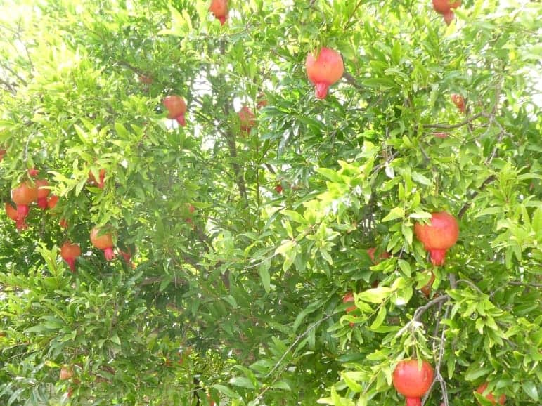 Punica granatum – Pomegranate