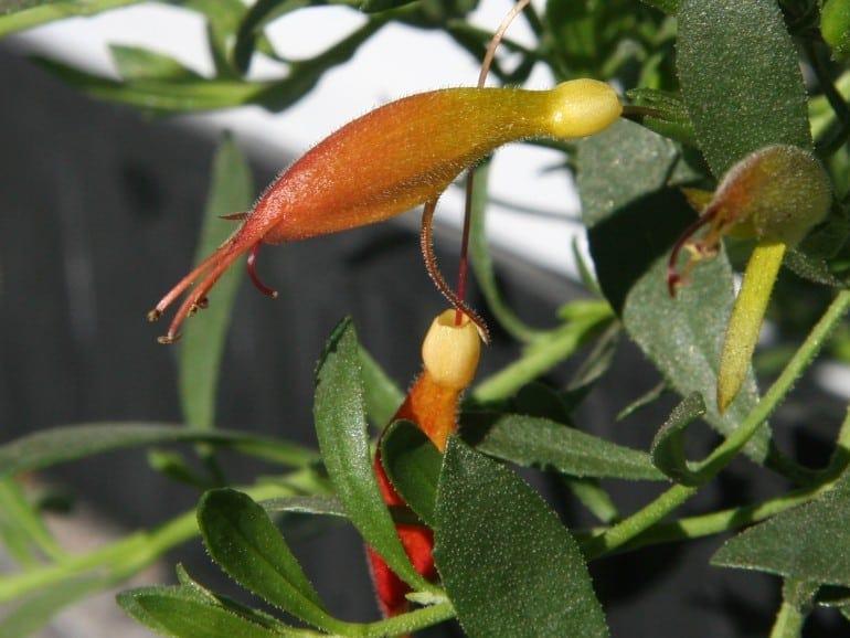Eremophila glabra – 'Roseworthy'