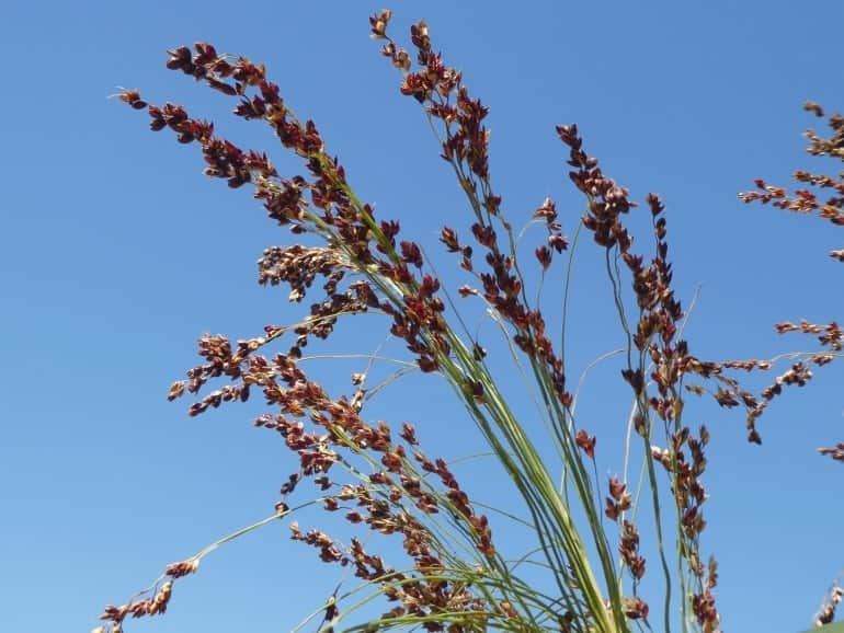 SORGHUM – Mayo Broom Corn