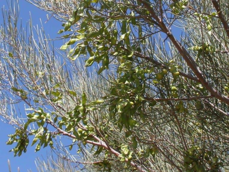 Acacia aneura – Mulga Wattle