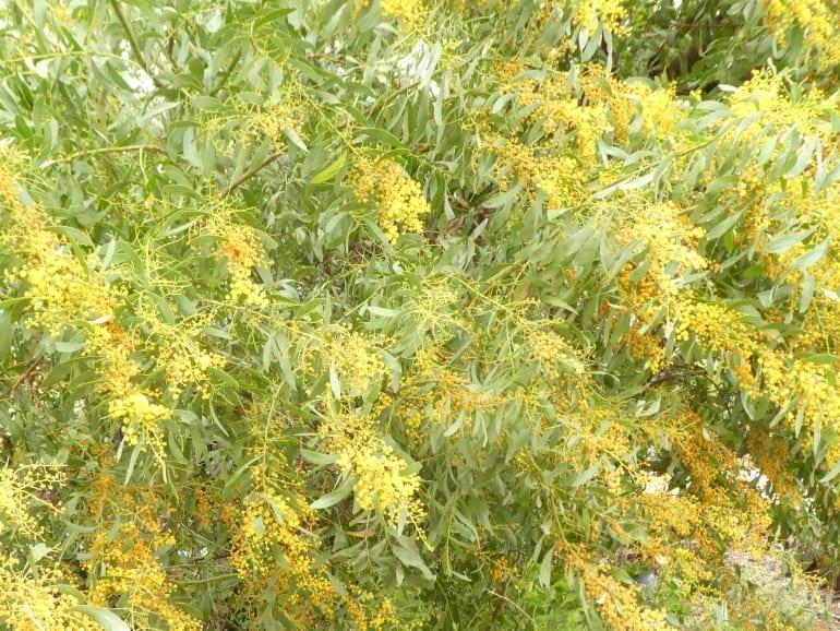 Acacia microbotrya – Manna Wattle
