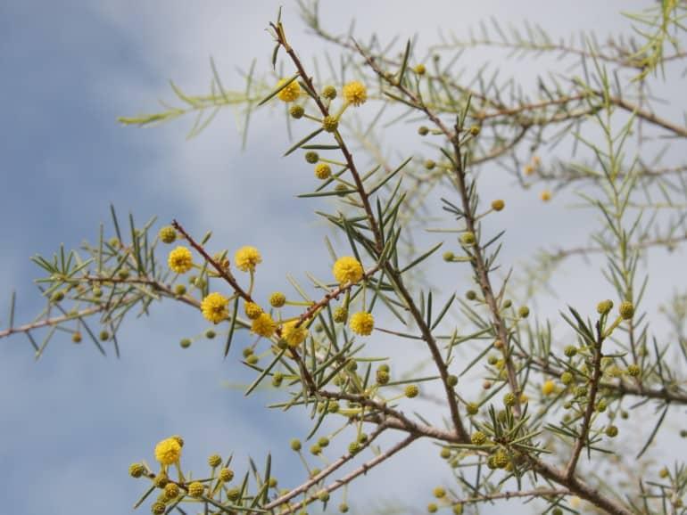 Acacia tetragonophylla – Curara
