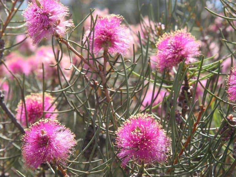 Melaleuca filifolia – Fine Leaf Pink Myrtle