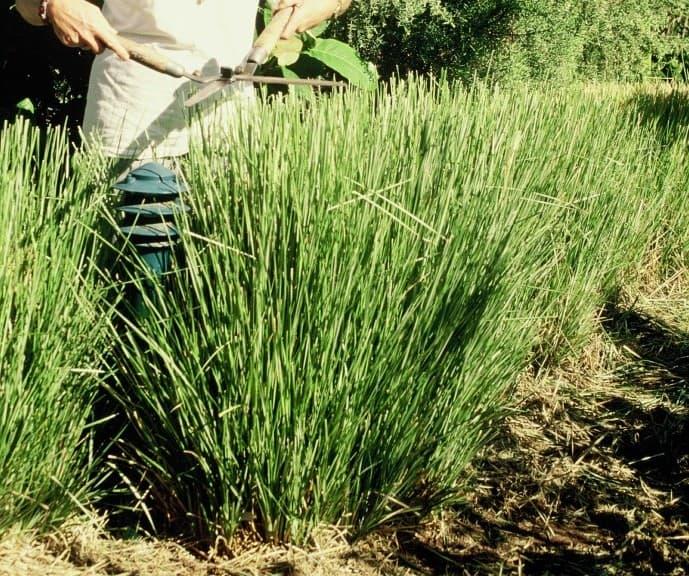 Vetiveria zizanioides – Vetiver Grass