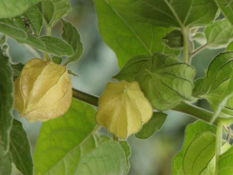 CAPE GOOSEBERRY – Peruvian Ground Cherry
