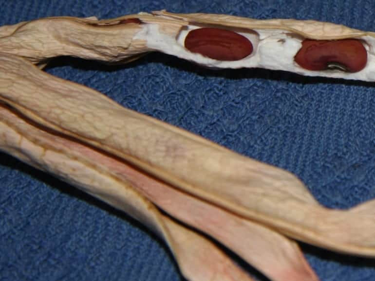 SNAKE BEAN – Red Seeded