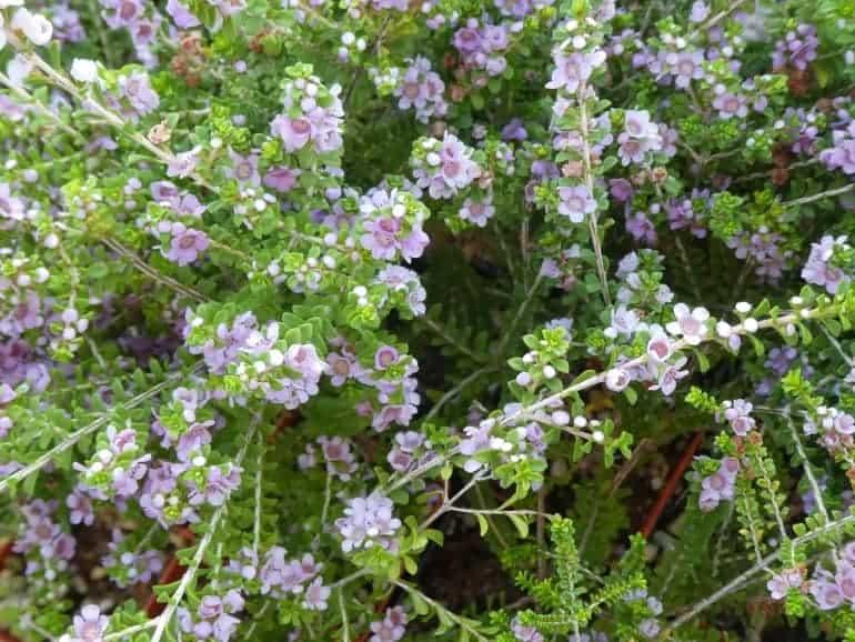 Thryptomene baeckacea – Oakajee Lace Flower