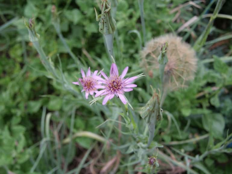 SALSIFY – Purple Flowering
