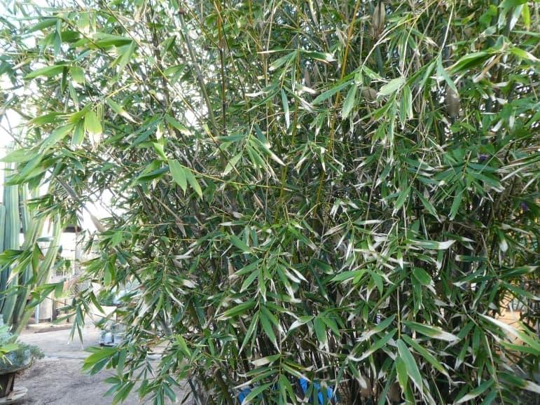 Bambusa oldhammi – Sweet Shoot Bamboo