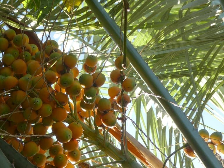 Butia odorata – Jelly Palm